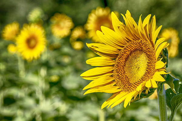 Caren Libby - Sunflowers at Columbia Bottoms